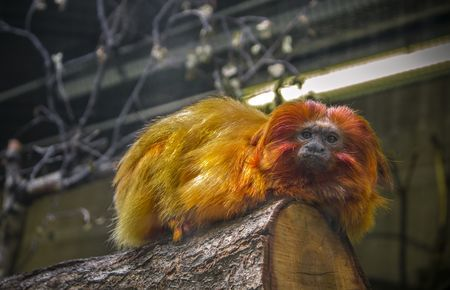 Maroon leaf langur Photo by John N. -- National Geographic Your Shot