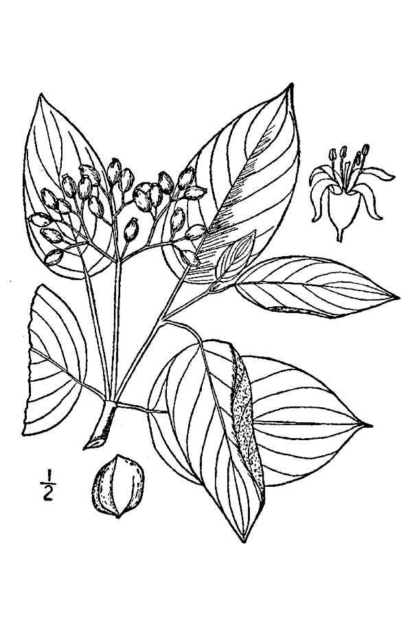 Large Line Drawing of Cornus amomum