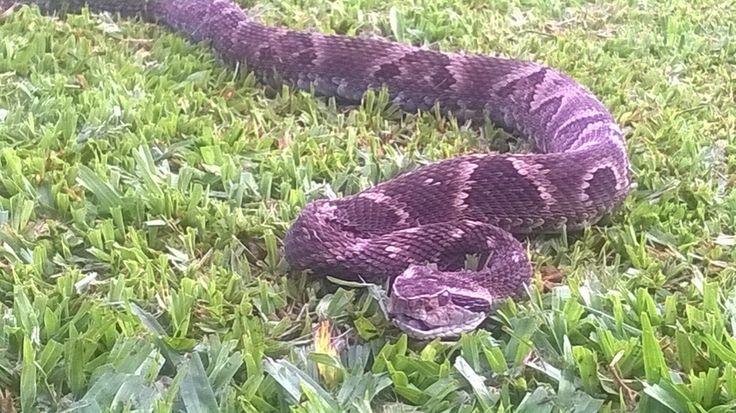 Jararaca, cobra venenosa típica do Brasil, esta encontrada na região serrana do Rio Grande do Sul.