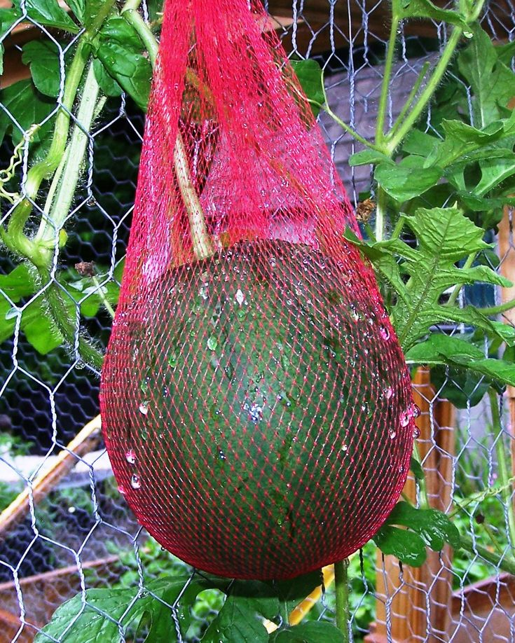 How to Vertically Bag Watermelon as it grows!