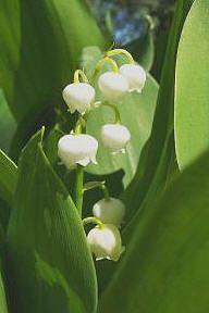 Schaduw: Lelietjes van dalen of meiklokjes zijn wit geurende bloemen die in mei bloeien en ook giftig zijn