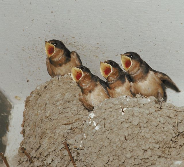 How To Get Rid Of Birds Near Your Home Hunker Barn Swallow Baby Barn Swallows Bird
