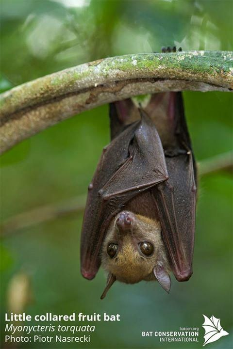 It's #toocutetuesday! This one is called the little collared fruit bat (Myonycteris torquata)!