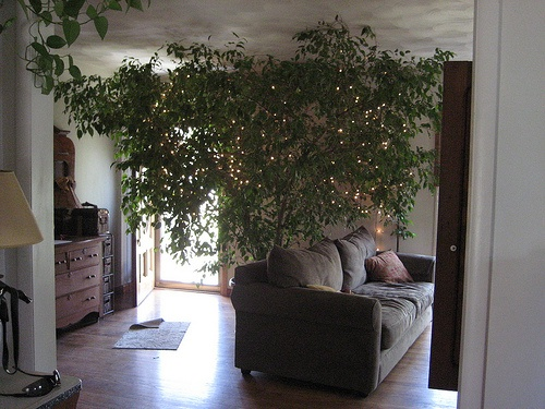 How to Repot a Ficus Tree in 12 Steps