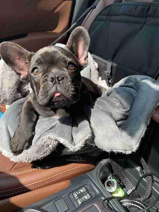 Dog Is So Worried When Her Best Friend Has To Go To The Vet French Bulldog Vets Bulldog