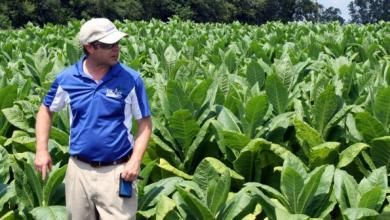Burley tobacco's resilience proven in extreme weather   Tobacco content from Southeast Farm Press