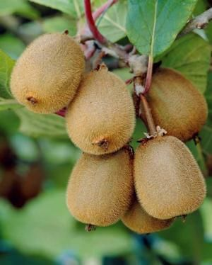 Kiwi 'solissimo' (renact) : achat/vente fruitiers en ligne chez Willemse