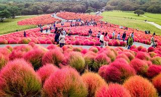 Less than two hours from Tokyo, the Hitachi Seaside Park is a palette of colors, changing from one season to another, making it an all-year-round paradise.