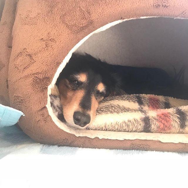 """・ つぶはお家の中でぐっすり💤 お姉ちゃんのあんこの看病疲れ❓💦(笑) あんちゃん寝てる間に散歩行かない❓😅 ┐( -""""-)┌ ヤレヤレ ・ ・ #ミニチュアダックスフント #ミニチュアダックスフンド #ダックス#愛犬 #老犬#老犬介護 #16歳 #わんこなしでは生きていけません会 #いぬぐみ#犬 #わんこ#シニア犬 #多頭飼い#腎臓病 #dog #miniaturedachshund #いぬのいる暮らし #愛してる #だいじょうぶ #看病疲れ"""