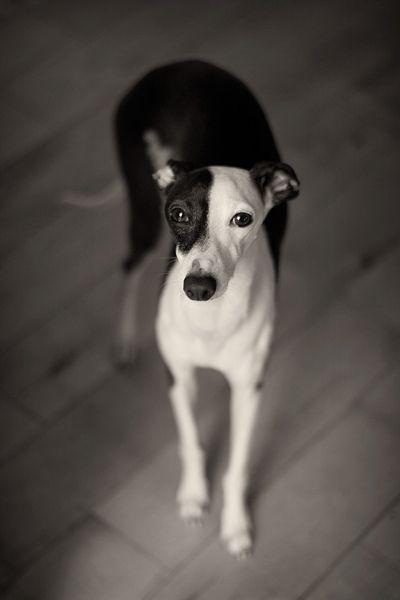 : Black And White, Pet Girls, Cute Pet, Black White, Pet Boys, White Dogs, Beautiful Dogs, Italian Greyhounds, Racing Snails