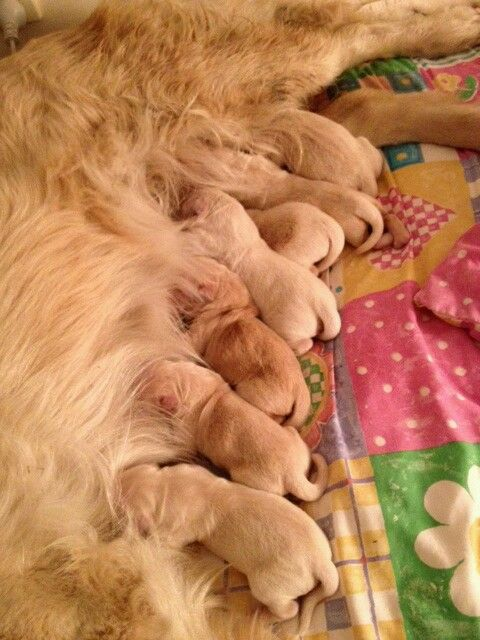 Gracie's gorgeous litter of 7 (Lissi)
