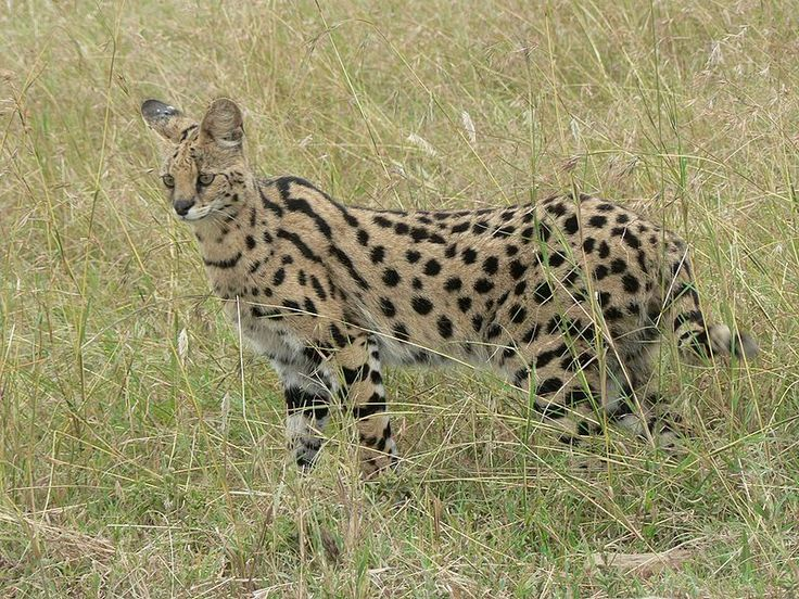 """Serval \\ This cat loves to roam the African savannas, and has the longest legs of any cat in the world (relative to body size). Unfortunately, they're hunted incessantly for their coats, which are sold to unsuspecting tourists as """"cheetah"""" or """"leopard."""""""