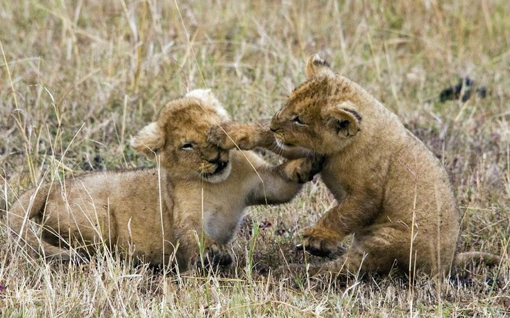 Photographer Ed Brown captured these two lion cubs play-fighting on the Masai Mara in Kenya
