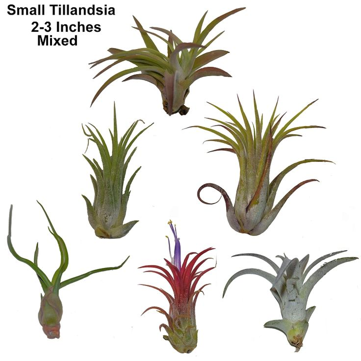 49 best Tillandsia - Plants of the Air images on Pinterest | Air ...