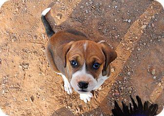 North Wilkesboro, NC - Boxer Mix. Meet Tulip, a puppy for adoption. http://www.adoptapet.com/pet/17543394-north-wilkesboro-north-carolina-boxer-mix