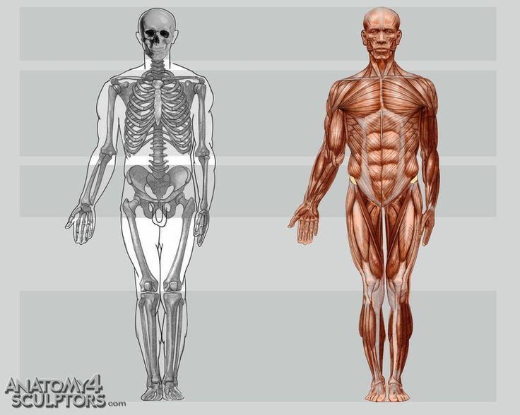 14 best muscles images on pinterest, Muscles