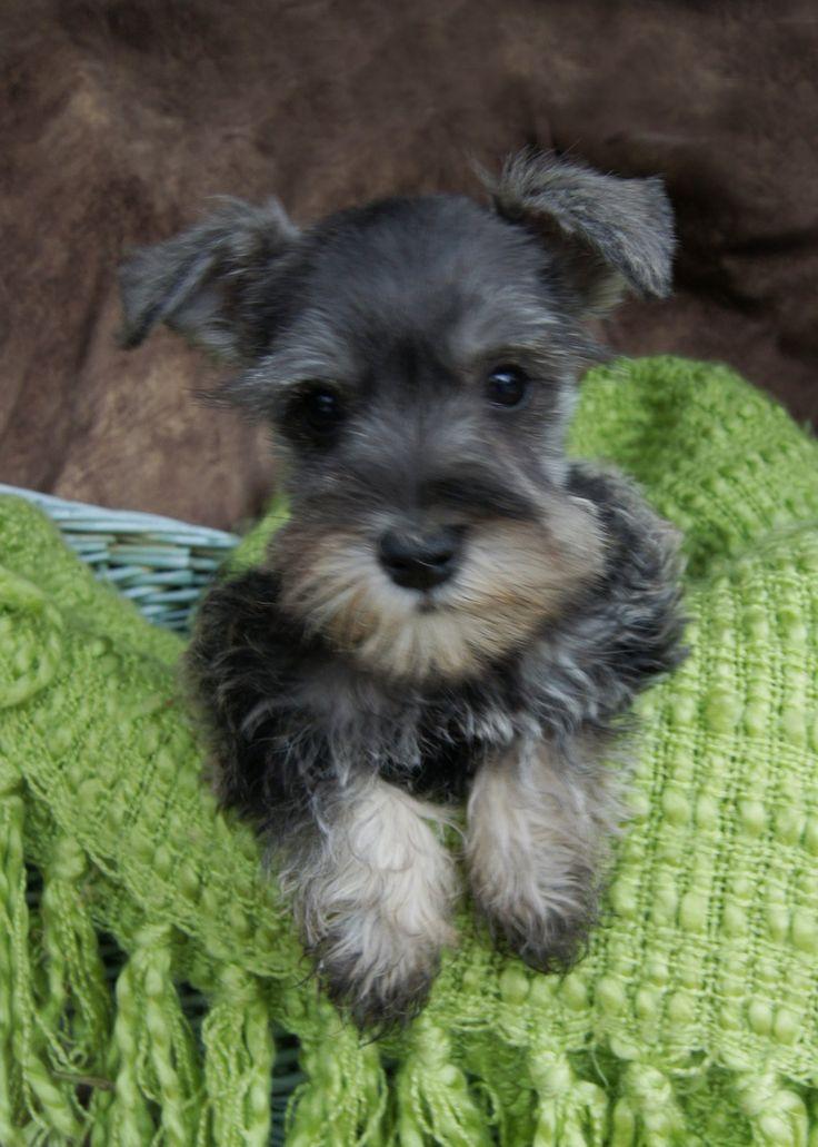 schnauzer pictures | Standard Schnauzer Puppies For Sale ~ Featured Puppies
