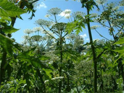 Giant Hogweed, sometimes known as giant cow parsnip or hogsbane, can grow up to five metres tall. The sap is toxic and can cause very severe burns and scars. It is mostly found growing alongside footpaths and riverbanks but it is spreading aggressively and now is the time to begin addressing this emerging issue.