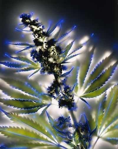 flores Con un golpe de 80.000 mil voltios, el fotógrafo Norteamericano Robert Buelteman crea esta magnífica colección de fotos de flores,