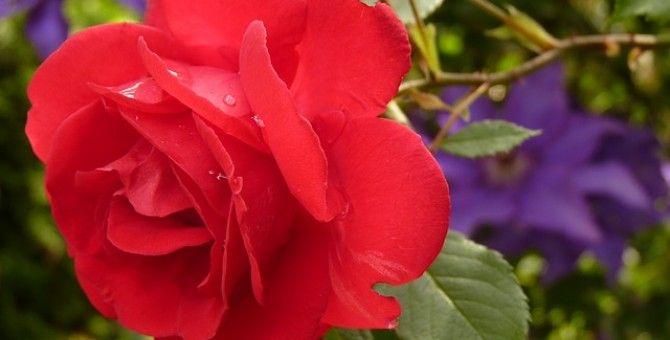 Beauty Tip - Rose Mask