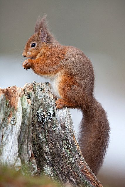 Red Squirrel by Sera.D.