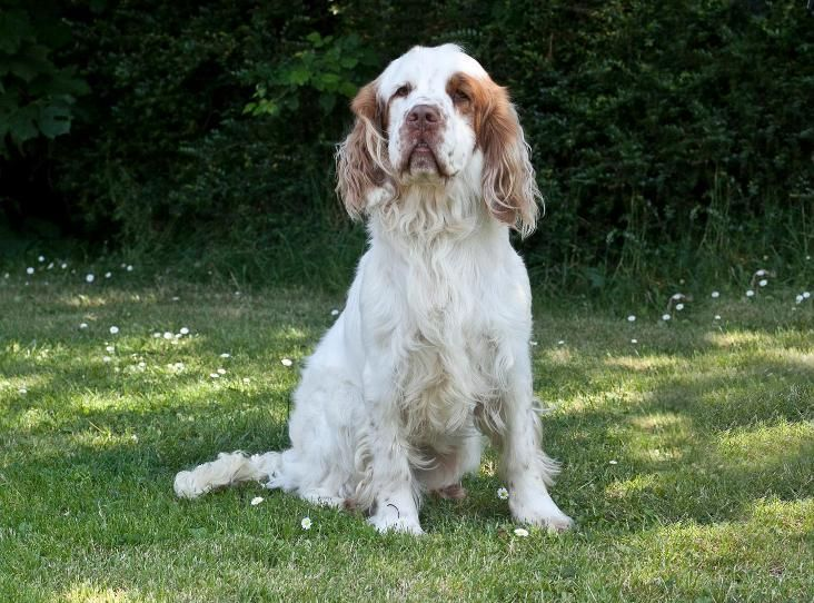 Dudley Clumber Spaniel Find A Pet Rspca Org Uk Clumber Spaniel Spaniel Animals