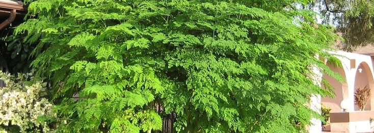 Moringa - A modern miracle tree
