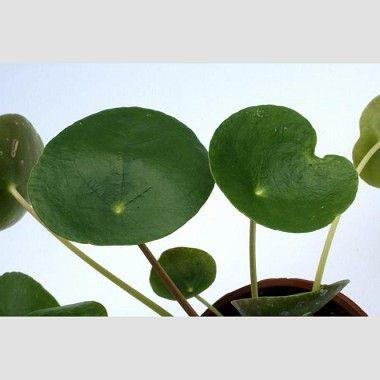 Pilea peperomioides
