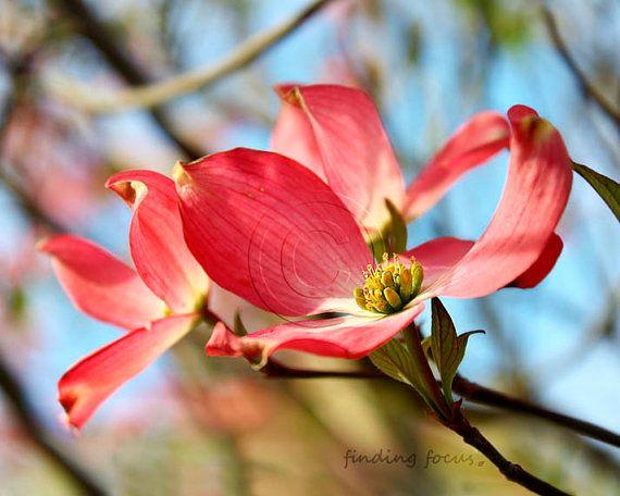 Dogwood Photo, Pink Dogwoods Tree Photography, Spring Green Blue Skies Vibrant Watermelon Pink Girls Nursery Art, Springtime Feminine Decor