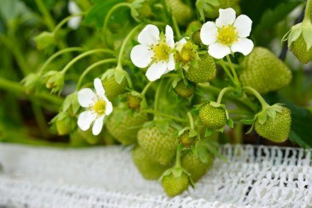 How to Plant and Grow Strawberries in Containers  Strawberries are one of the best plants to grow in containers and even do well indoors.