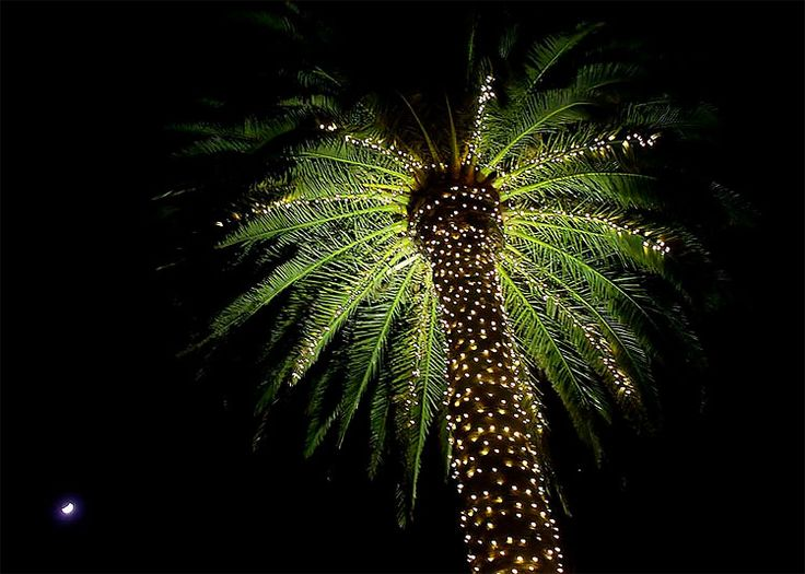 Palm Trees With Christmas Lights Pictures Part - 31: Christmas Lights Palm Tree Christmas Lights Palm Tree
