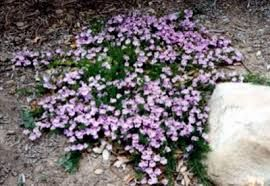 australian native flowers ground cover - Google Search