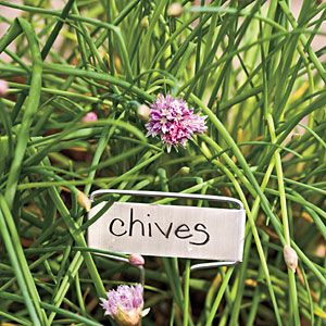 chives Species and Selections  Common chives (Allium schoenoprasum) have hollow leaves with a mild onion flavor. Plants grow to 10 to 12 inches tall. The leaves disappear in the fall at first freeze and reappear in early spring.    Garlic chives (Allium tuberosum) are also called Chinese chives. They grow about twice as large as common chives and feature flatter, wider leaves.