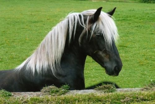ContrastsPretty Hors, Horses Ponies, Brownbread Tabitha, Highlands Ponies, Black Beautiful, Flaxen Mane, Silver Dapple, Black Hors, Animal