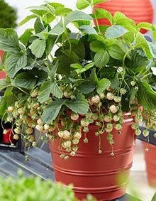Wonderful™ Pineberry, Strawberry Plant for Sale | Fast-Growing-Trees.com