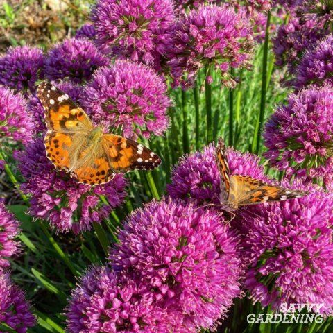 Millenium Allium is a long flowering perennial that's attractive to bees and… #Gardening