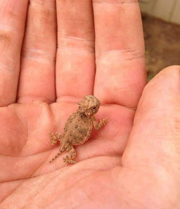 Baby Bearded-dragon