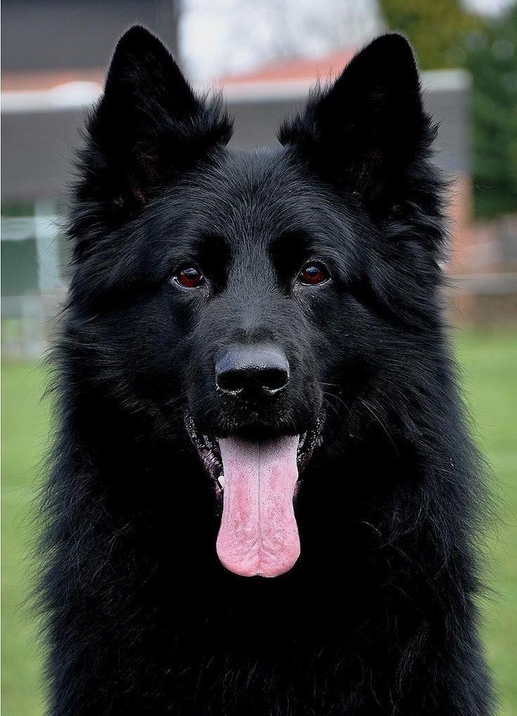 German shepherd dog (Deutscher Schaferhund)                                                                                                                                                                                 More