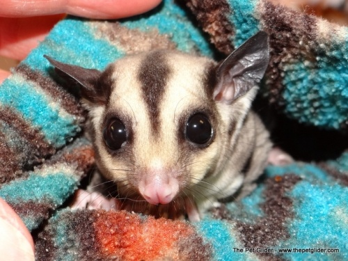 Aster is a sweet little girl looking for a dance partner.  She's a great value for anyone looking to start caring for sugar gliders!: Little Girls, Glider Cuteness, Sugar Gliders, Sweet Peas