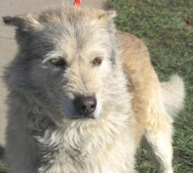 74 best images about Irish wolfhound mixed on Pinterest