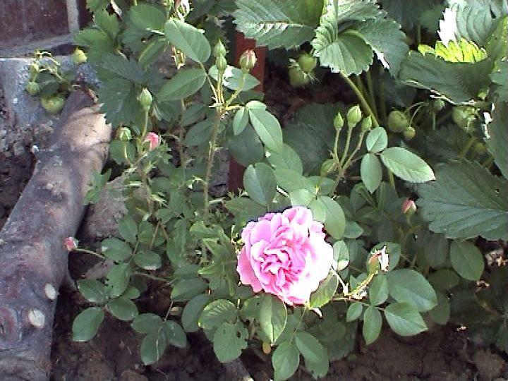 Kunena :: Téma: Austin David - Anglické růže III/2012 (10/66)