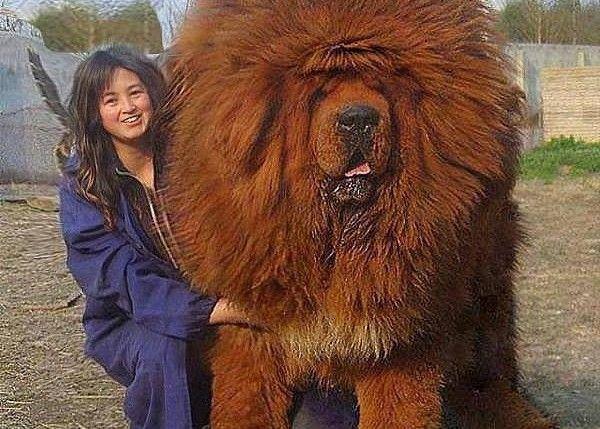 Тибетский мастиф. Самая дорогая собака на земле!