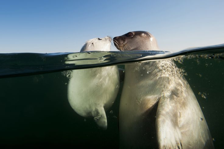 A female harp seal with pup in the Gulf of St. Lawrence above Prince Edward Island, Canada.