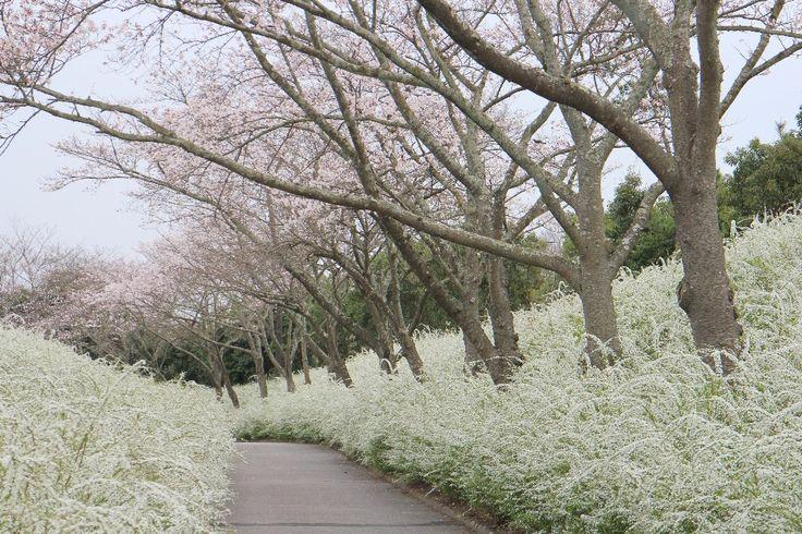 愛知県緑化センターのユキヤナギとサクラ http://blogs.yahoo.co.jp/fujioka_kanko/10743310.html
