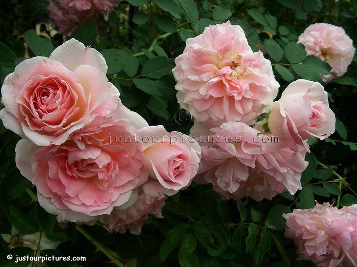 Morden 'Blush' roses never fail to bloom in my garden. All ...
