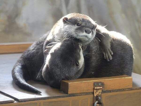 Otter hug, from kurinoigaiga@twitter