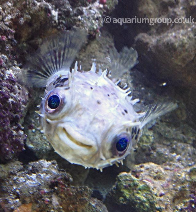 229 best fish pufferfish images on pinterest fish for Puffer fish aquarium