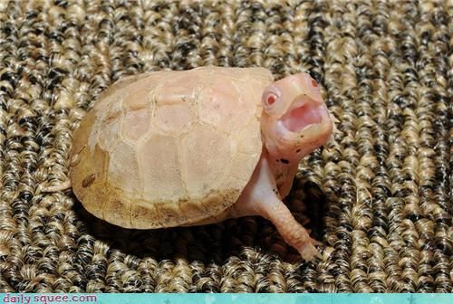 "Albino baby box turtle says, ""Hello!"""