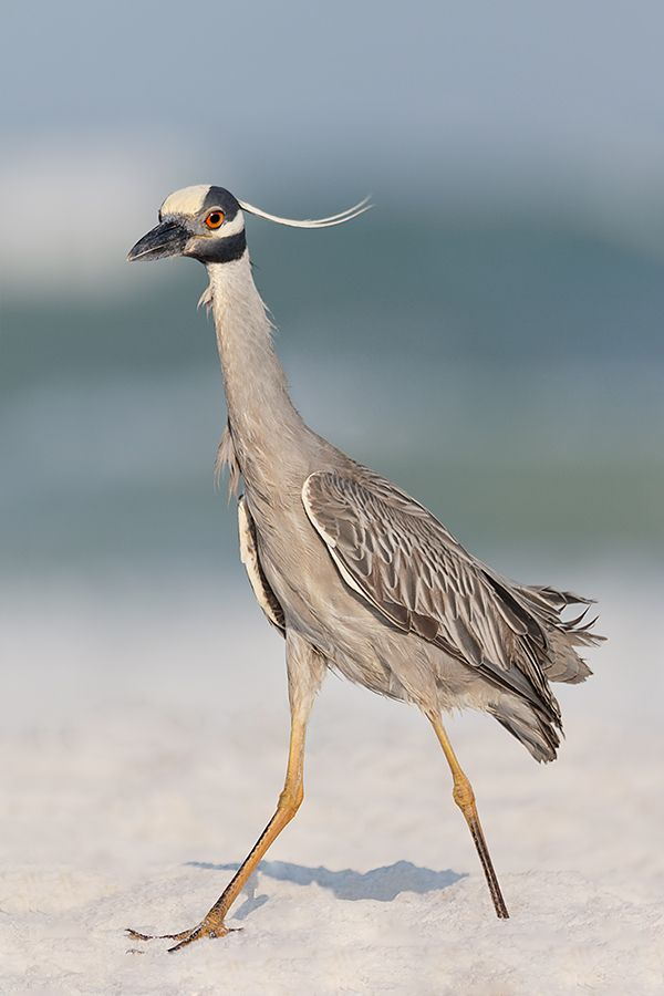 http://www.birdsasart-blog.com/baa/wp-content/gallery/general/yellow-crowned-night-heron-extensive-beach-clean-up-bird-moved-in-frame-_y8a6005-fort-desoto-park-fl.jpg