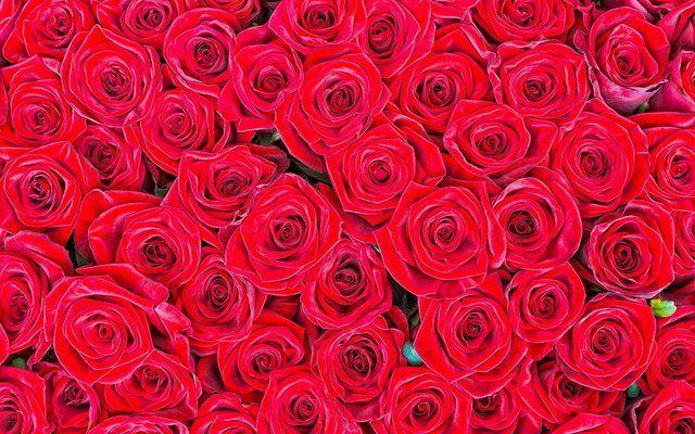Fototapete »rote Rosen«, matt, glänzend, 400 x 250 cm